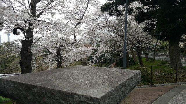 Cherry Blossoms in Yokohama